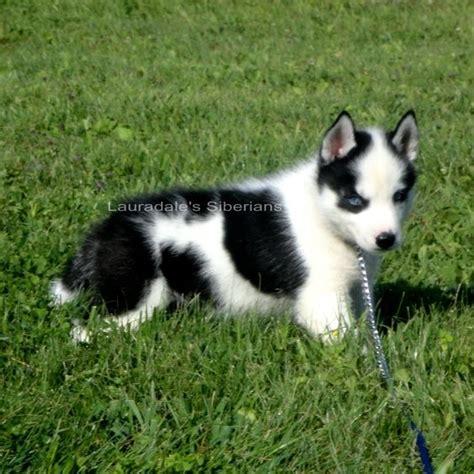black husky puppies black white blue eyed piebald siberian husky puppy past puppies