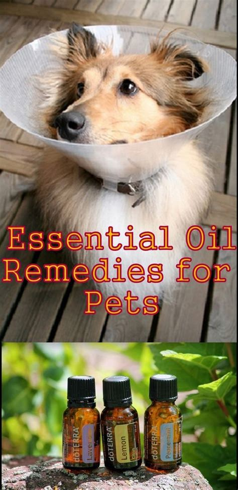 essential oils to calm dogs essential remedies for pets the whisperer use lavender to calm a