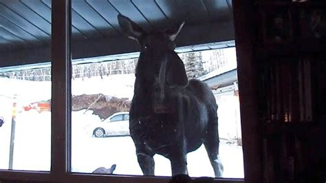 can dogs use human shoo moose on news in alberta ctv news