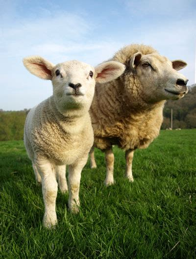 rising sheep sheep raising and management tips sustainable farming earth news