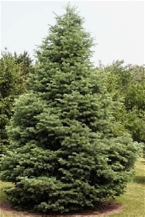 abeti da giardino radici delle conifere domande e risposte giardino