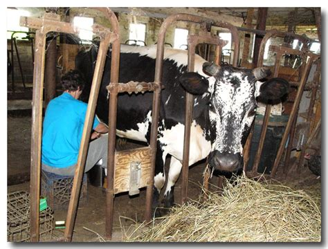 we built our first cow milking stanchion farm milking randall lineback cattle cynthia s randall