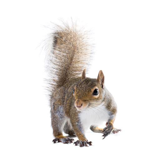 squirrel removal dayton ohio dayton wildlife removal