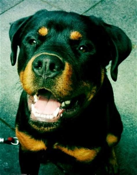 my rottweiler is getting aggressive photo gallery ny clever k9 chion dogs graduates