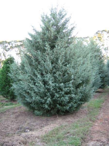 fresh cut christmas tree kingman az 11 best cor ten steel planters images on herb garden planter cor ten and corten steel