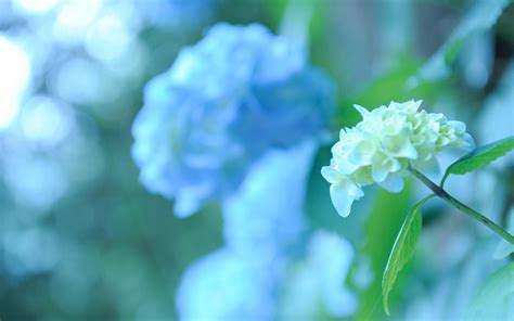 wallpaper flower hydrangea 17 beautiful hd hydrangea flowers wallpapers
