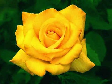 imagenes de rosas injertadas ahora s 233 significado de las rosas