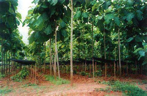 Bibit Tanaman Turi Putih kayu jati pohon jati kebun jati februari 2011