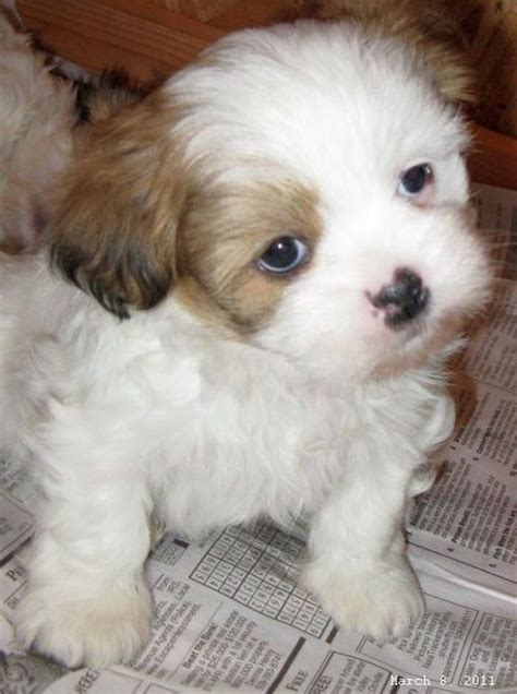 miniature lhasa apso puppies for sale akc lhasa apso puppies for sale breeds picture