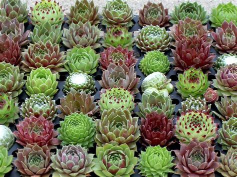 how to grow and care for sempervivum world of succulents