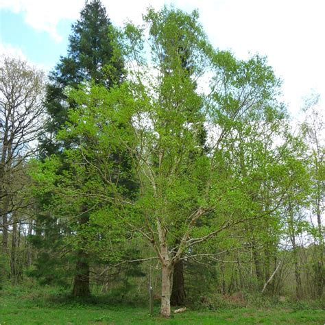 betula ermanii ermans birch tree buy erman s birch