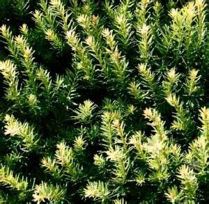 pini nani da giardino conifere nane da terrazzo