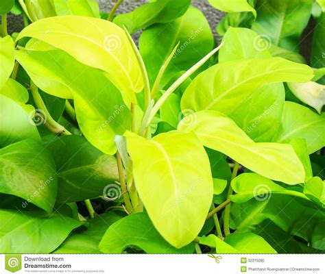 Philodenron Lemon araceae philodendron cv lemon lime stock photo image