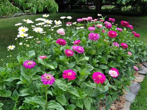 zinnias flower garden benary zinnia best flower a must for
