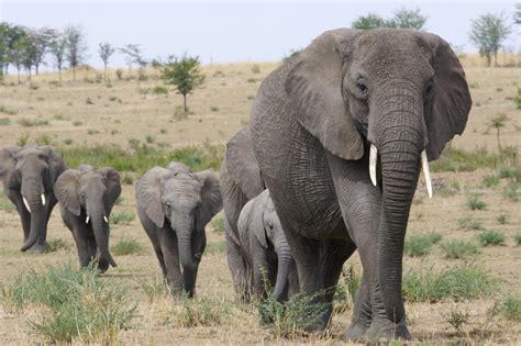 african elephant facts great migration african safari tanzania and kenya