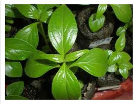 Green Zone Sambiloto 50 Kapsul manfaat sambiloto herbal penyehat indonesia