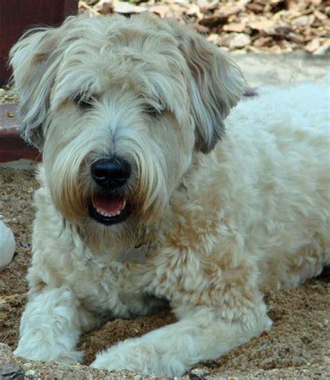 buckeye puppies wheaten terrier puppy ollie the wheaten terrier puppies daily puppy dougal the