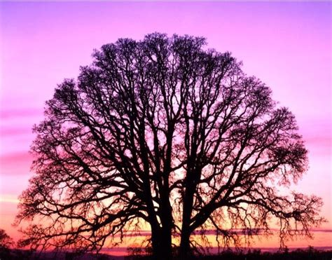 pretty trees roots going deeper branches becoming longer ahhh the power of an oak tree at sunset