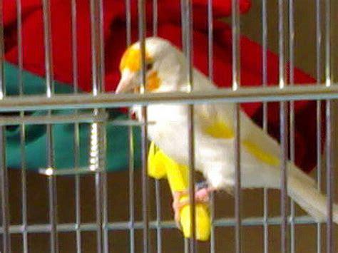uccello in gabbia prato in fiore gt l uccellino in gabbia