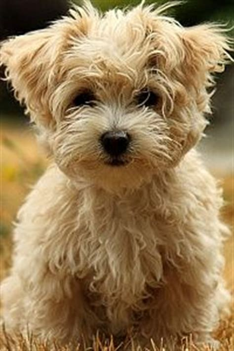 havanese and children what you should about havanese and children havanese breeders