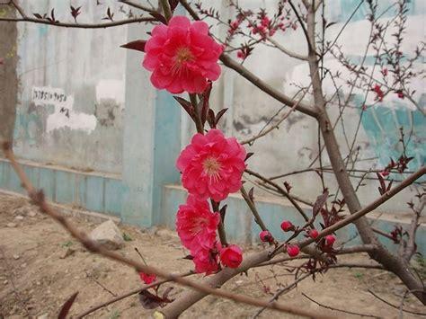 pesco da fiore fiori pesco fiori di piante pesco fioritura