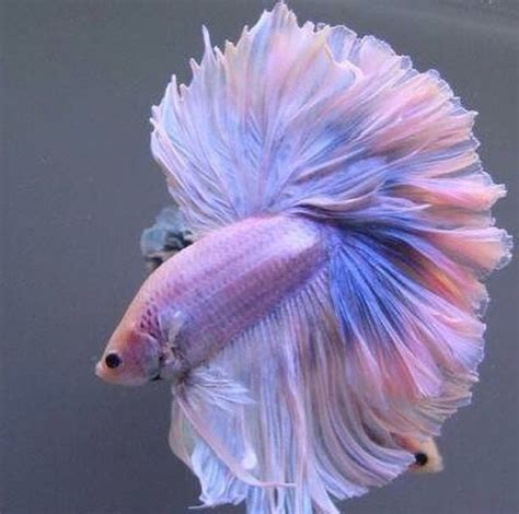 Fashion Colors For 2016 beautiful beta colors cute fish image 4032115 by