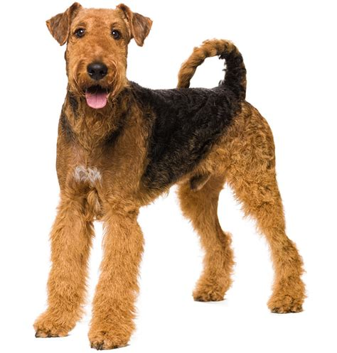 winter airedale haircut winter airedale haircut airedale haircut airedale terrier