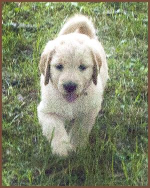 goldendoodle puppies ny goldendoodle western new york breeds picture