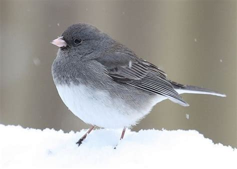 slate colored junco slate colored junco birds of a feather