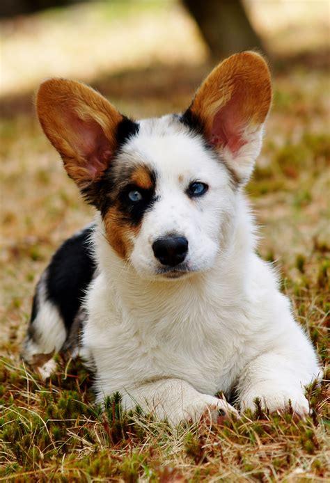 cardigan corgi puppies hagaren cardigan corgis quot breeder of magical creatures quot animals of all kinds