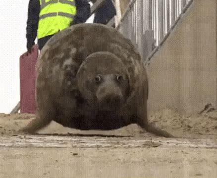 Bouncing Seal Meme