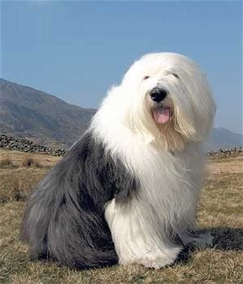 shipping a puppy 1000 images about prettiest on sheep dogs westminster show