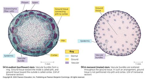 cross section of a monocot monocot vs dicot stem