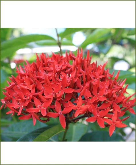 ixora red dwarf mashrita online nursery