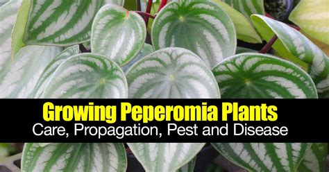 peperomia care guide plants propagation soil pests