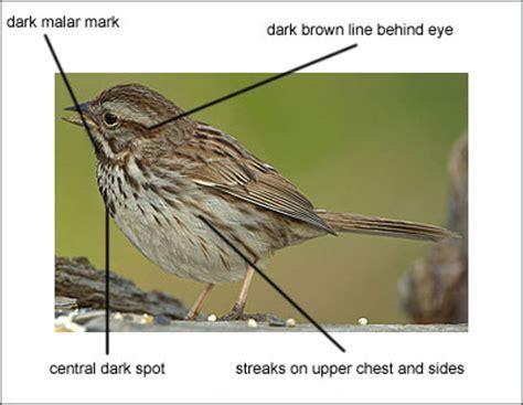 description of the song sparrow