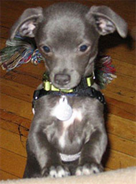chihuahua italian greyhound mixed breed dog  dog