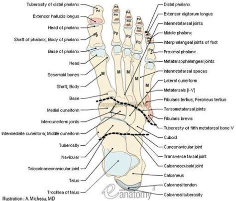 diagram of the foot bones human anatomy foot bone anatomy chart human quiz