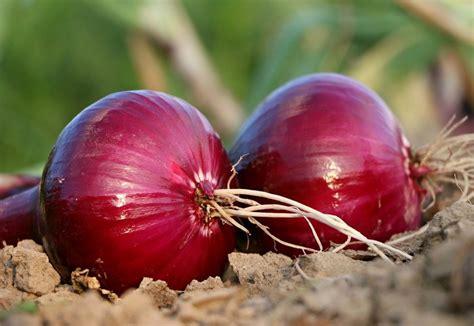 Comment Cultiver Les Oignons comment planter des oignons tout ce qu il faut savoir