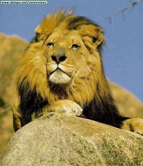 imagenes de leones feroces los leones imagenes de diferentes leones
