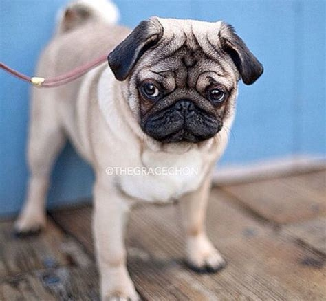 pug addict 1845 best images about a pug addict on