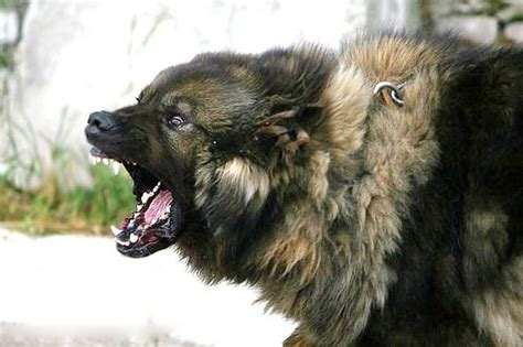 russian guard dogs is a caucasian shepherd for guarding and a pet