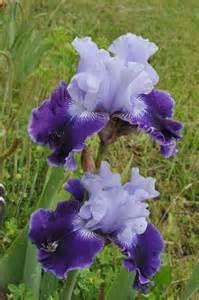 iris fabulous one