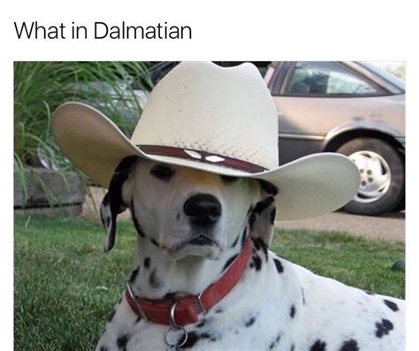 in meme what in dalmatian what in tarnation your meme
