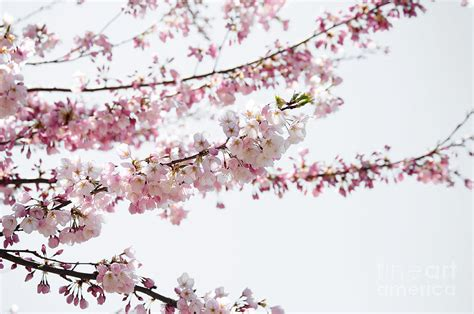 Cherry Blossom Branches Photograph By Elaine Manley Cherry Blossom Branch