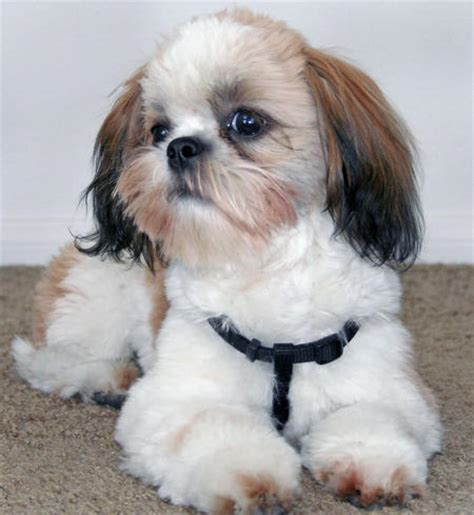 maltese shih tzu puppies for sale in nc shih tzu maltese mix puppies for sale breeds picture