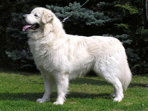 big white breeds big breeds breeds picture