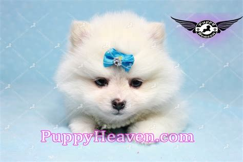 are teacup pomeranians hypoallergenic snowball teacup pomeranian puppy in los angeles found a new loving home adopted