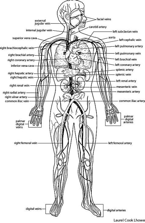 human vascular system diagram circulatory system diagram unlabeled black and white