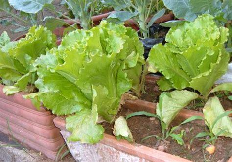 coltivare lattuga in vaso coltivare l orto seminare la lattuga estiva ecco come